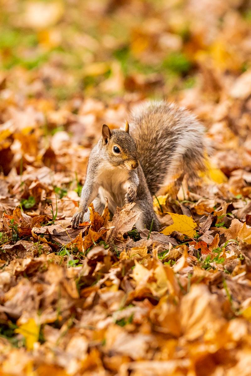 Squirrel digging through dry leaves