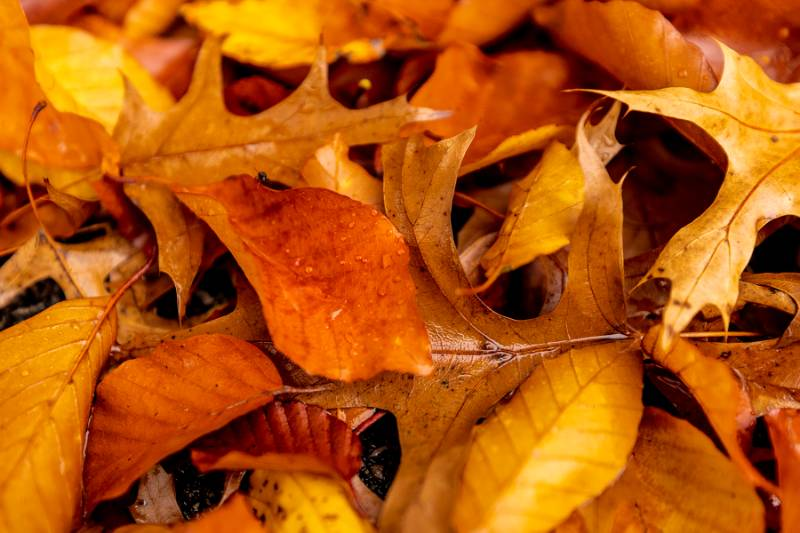 Up close of wet orange/yellow leaves on ground