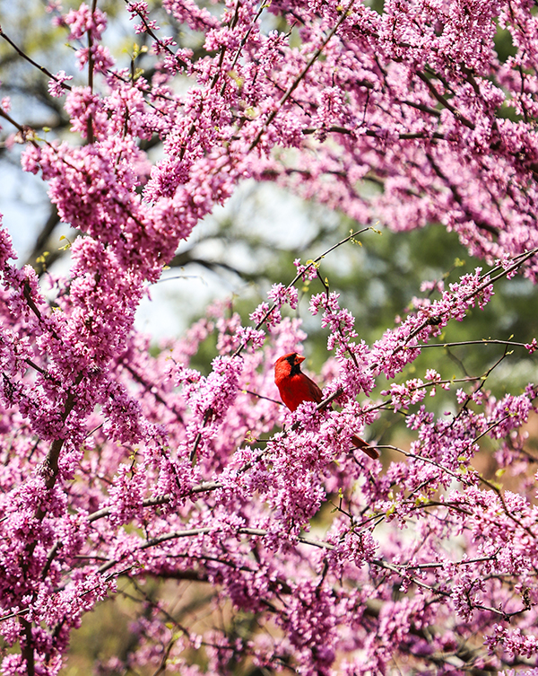 Red cardinal sitting in a tree with purple blooms on branches.